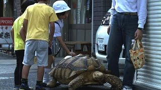 Tortoise Walking in Japan