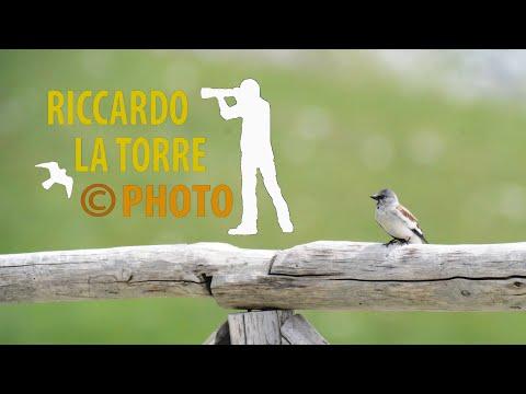 Fringuello alpino - Montifringilla nivalis