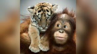 Meet the Orangutan Who Pretends He's a Parent to Adorable Tiger Cubs
