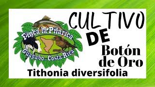 getlinkyoutube.com-Botón de Oro ( Tithonia diversifolia)