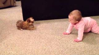 getlinkyoutube.com-BABY DOG WHISPERER! Cesar Millan has nothing on her!! Shorkie Puppy Talks to Baby