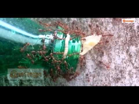 Memberi Makan Semut Rangrang Pada Ternak Kroto
