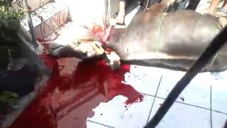 Pemotongan Sapi SMPN 93 Jakarta