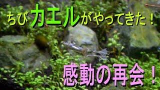 getlinkyoutube.com-チビカエルがやってきた!迷子になったカエルと感動の再会! 【アクアリウム】
