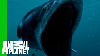 getlinkyoutube.com-The Whale Shark Is a Small Fry Compared to Biggest Fish Ever