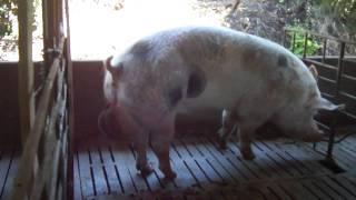 getlinkyoutube.com-Granja-Criação de porcos Ivaiporã-PR parte 1