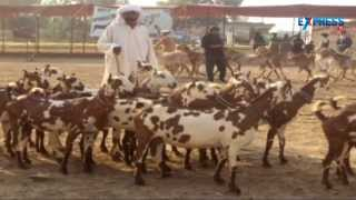 getlinkyoutube.com-Intensive goat farming and best breeds of goats - Paadi Pantalu