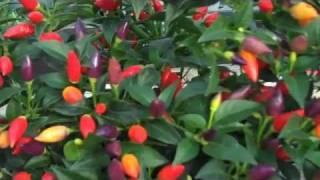NuMex Twilight chillies
