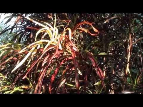 Como fazer mudas de cróton -  Codiaeum variegatum - Jardinagem - Plantas ornamentais