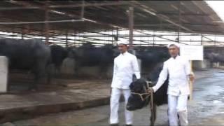 getlinkyoutube.com-Maratha Konkan Dairy Farm