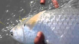 getlinkyoutube.com-Mullet Fish Festival  2013 مهرجان سمك العربي