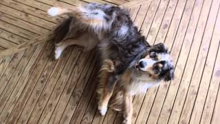 getlinkyoutube.com-Tricks, commands and agility - Australian Shepherd Koda