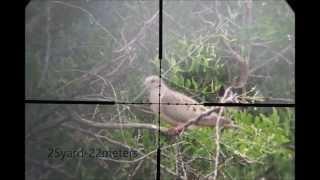 getlinkyoutube.com-PIGEON SHOOT KALIBRGUN 5 5