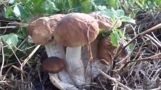 Classifica top ten funghi commestibili 10 - by diavolorosso -