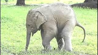 getlinkyoutube.com-Cute Little Baby Elephant takes a pee