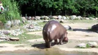 getlinkyoutube.com-World's Biggest Fart - The Hippo