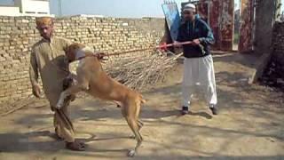 getlinkyoutube.com-my bully kutta in pakistan 2