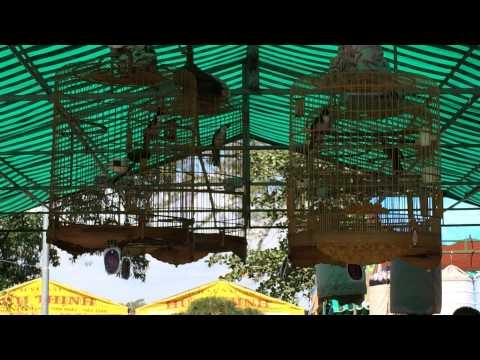 Vòng Chung kết Hội thi Chim Chào Mào Hót huyện Xuyên Mộc ngày 05/02/2014 (Mùng 6 tết)