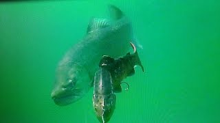 Giant lake trout following 30 LT trout - Lokvarsko lake Croatia