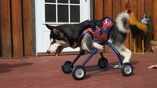 getlinkyoutube.com-Husky Puppy Walks for the First Time With Special Wheels