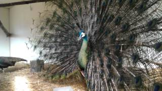 getlinkyoutube.com-Green Peafowl display