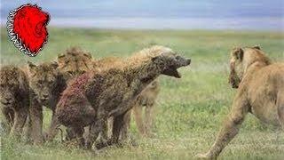 El León come Hienas - Ataques Reales Jamás Filmados