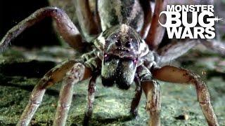 getlinkyoutube.com-Sydney Funnel Web Vs Wolf Spider | MONSTER BUG WARS