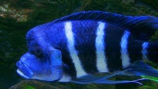 getlinkyoutube.com-Cyphotilapia gibberosa blue Zaire - the bluest of all frontosa