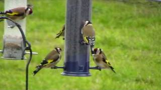 getlinkyoutube.com-Goldfinches feeding on nyjer seed feeder