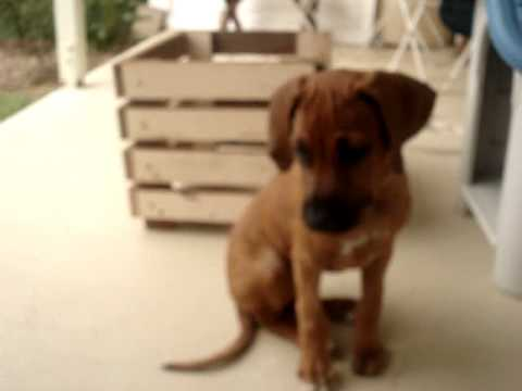 Rhodesian Ridgeback puppy feeding training
