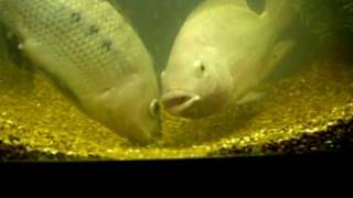 getlinkyoutube.com-Multiple Blue Tilapia Spawn At The Same Time