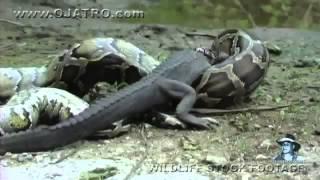 getlinkyoutube.com-شاهد كيف يبتلع الثعبان التمساح سبحان الله