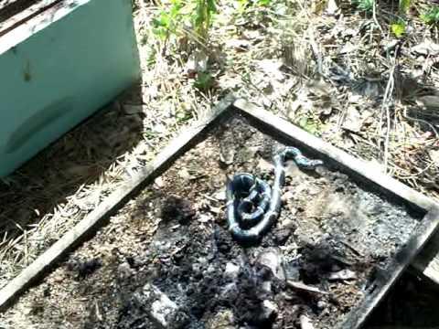SNAKES 2, Georgia Beekeepers Beehive Snake video,Beekeeping Honeybee Hive Varmints,New Mite control