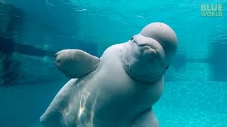 getlinkyoutube.com-Beluga Whales of the Mystic Aquarium | JONATHAN BIRD'S BLUE WORLD