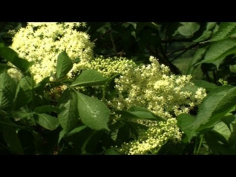 Elderflowers help Romania's rural economy blossom