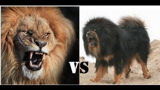 getlinkyoutube.com-Mongolian Banhar strong as a Lion