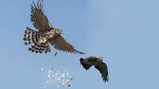 getlinkyoutube.com-ястреб атакует голубей