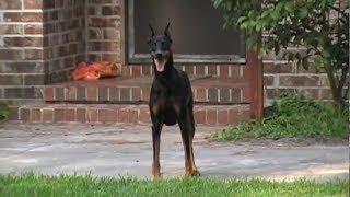 getlinkyoutube.com-Dog on Patrol
