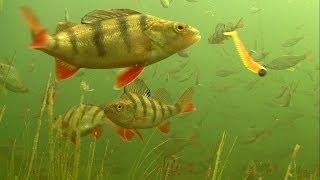 Fishing: big perch abborre barsch attack lures soft-baits underwater. Рыбалка окунь на силикон