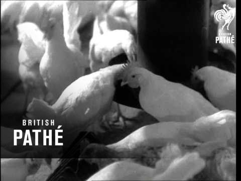 Poultry Farm In Russia  (1960)