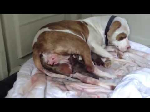 Red Nose Pitbull Giving Birth