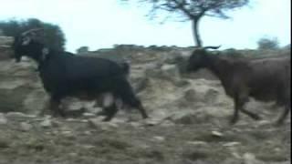 getlinkyoutube.com-Κατσίκια Δαμασκού