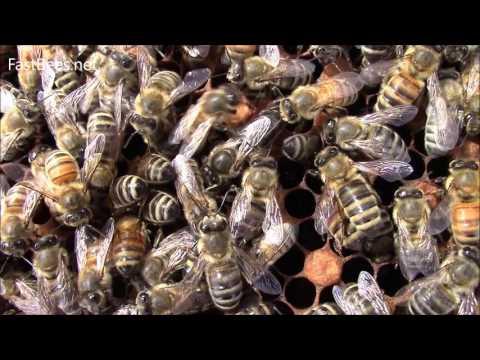 Newborn queen bee is singing for her bees.