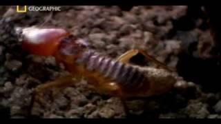 getlinkyoutube.com-Matabele ants vs termite soldiers