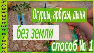 РАССАДА ОГУРЦА,АРБУЗА И ДЫНИ БЕЗ ЗЕМЛИ!!!ОТЛИЧНЫЙ СПОСОБ