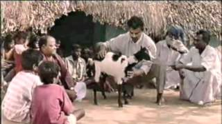 getlinkyoutube.com-Manipulation of Marma Points on a goat