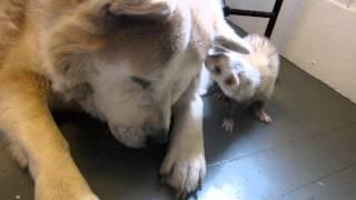 getlinkyoutube.com-Bean the ferret curious about big fluffy husky