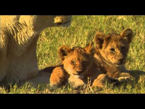 אריות הפרא האחרונים