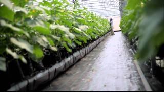 getlinkyoutube.com-Cucumber Farm