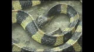 getlinkyoutube.com-Snakes of Sunderbans, WB, India